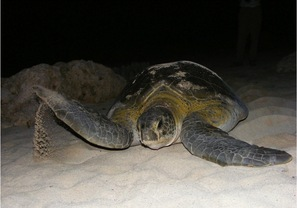 Cuba Marine Research and Conservation photo of a nesting green sea turtle at Guanahacabibes National Park