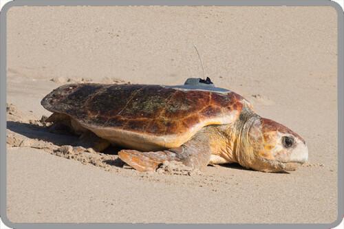 sea turtle tracking active sea turtles sea turtle conservancy