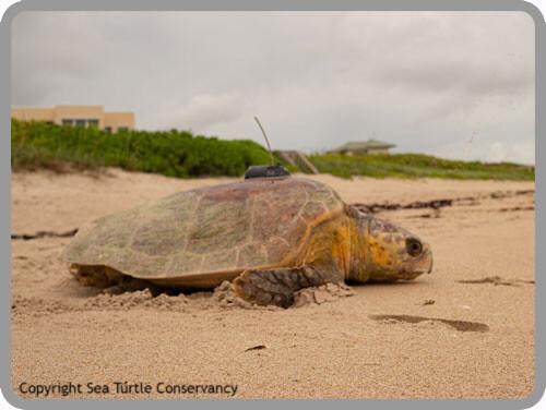 Tour De Turtles Sea Turtle Conservancy
