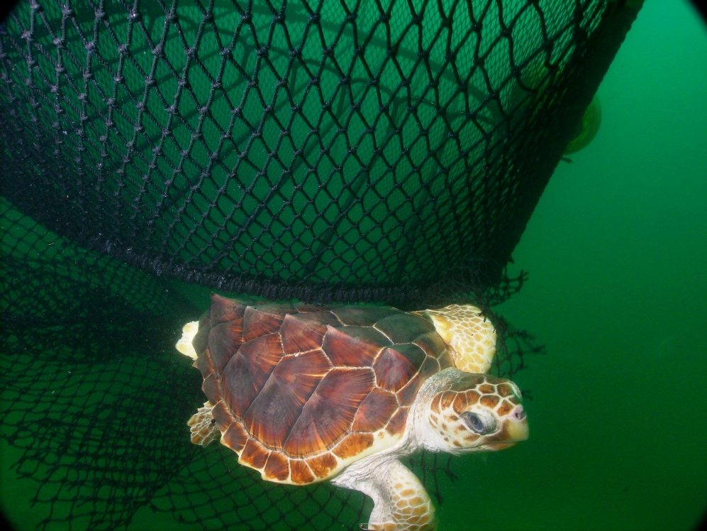 Sea turtle escapes a fishing net through a TED (Photo by NOAA)