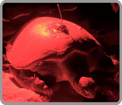 Sea Turtle Tracking: Active Sea Turtles – Sea Turtle Conservancy