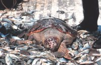 TurtleBycatch