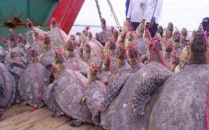 Global Status of the Hawksbill Sea Turtle – Sea Turtle