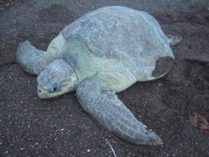 Information About Sea Turtles: Olive Ridley Sea Turtle – Sea